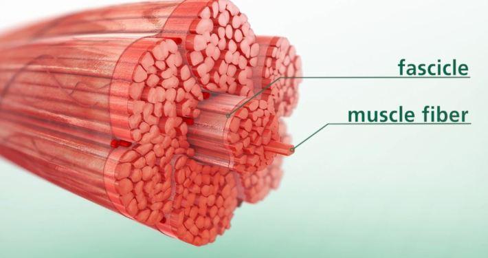 3D Muscle Swine